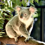 Protect koala habitat